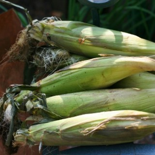 How to Buy, Steam and Grill Corn (and how not to)